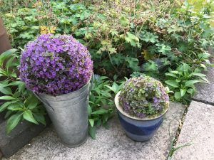 Year round colour in your garden frugally